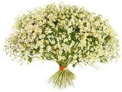 Флоритория 25 кустовых ромашек (танацетум)